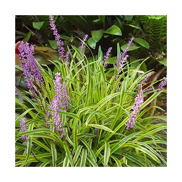 Liriope muscari'Gold Banded'