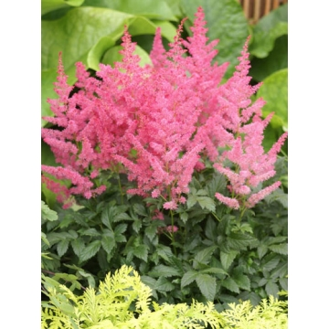 Astilbe arendsii'Heart and Soul'