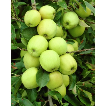 Appel'Golden Delicious'