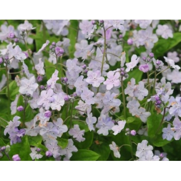 Omphalodes cappadocica'Lilac Mist'