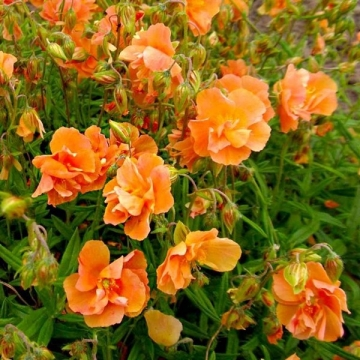 Helianthemum hybride'Orange Double'