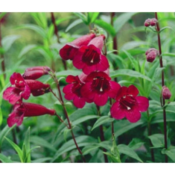 Penstemon'Rich Ruby'