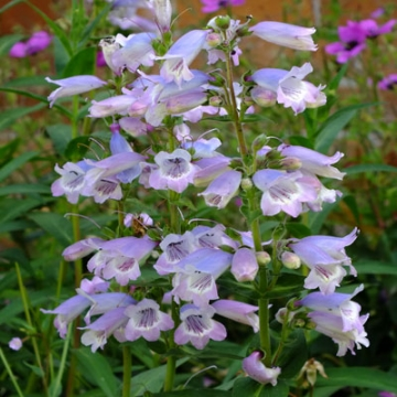Penstemon'Sour Grapes'