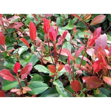 Photinia fraseri'Red Robin'