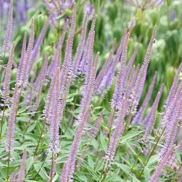 Veronicastrum virginicum'Fascination'
