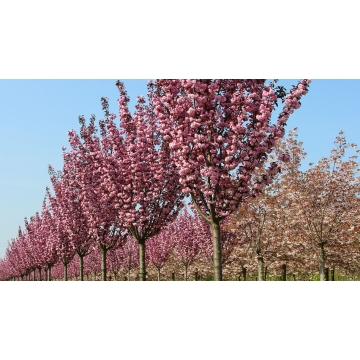 Prunus serrulata'Royal Burgundy'
