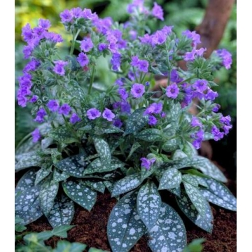 Pulmonaria'Trevi Fountain'