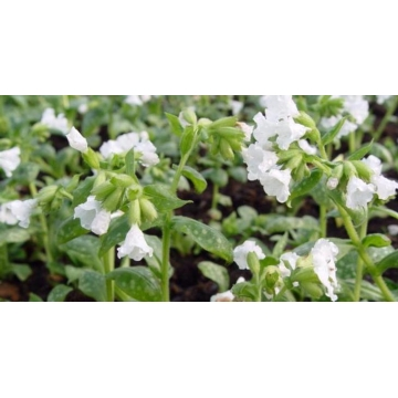 Pulmonaria officinaiis'Sissinghurst White'