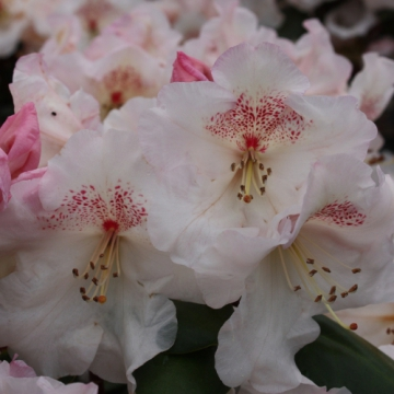 Rhododendron'Dr.Rieger'