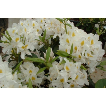 Rhododendron'Madame Masson'