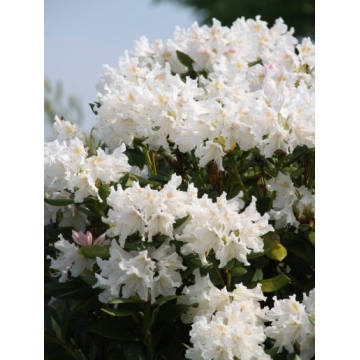 Rhododendron'Cunningham White'