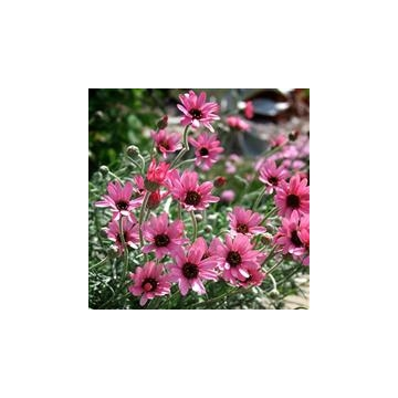 Rhodanthemum'Pretty in Pink'