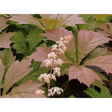 Rodgersia'Irish Bronze'