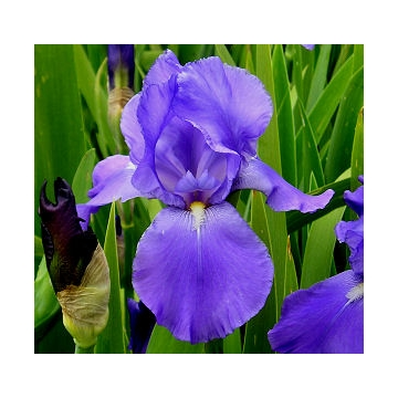 Iris germanica'Summer Holiday'