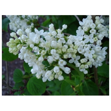 Syringa vulgaris'Florent Stepman'