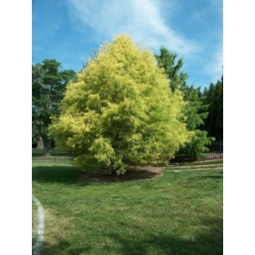 Taxodium distichum'Pevu Yellow'