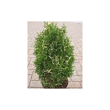 Thuja occidentalis'Konfetti'