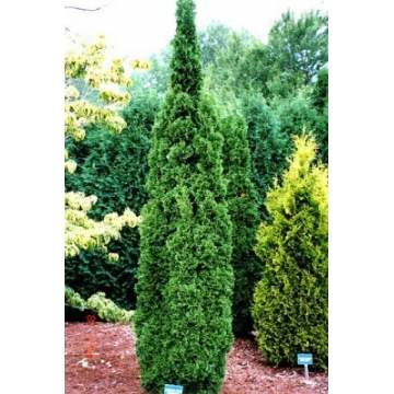 Thuja occidentalis'Degroot's Spire'