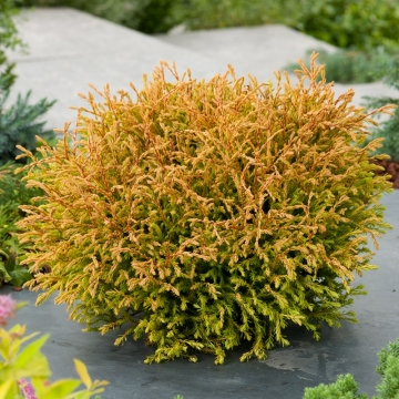 Thuja occidentalis'Golden Tuffet'