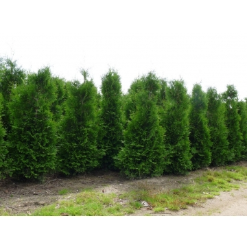 Thuja occidentalis'Brabant'