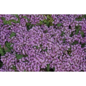 Thymus praecox'Minor'