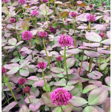 Trifolium repens'William'