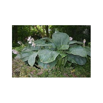 Hosta'Empress Wu'