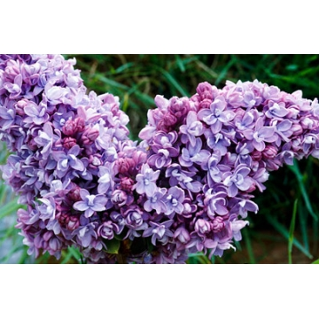 Syringa vulgaris'Katharine Havemeyer'