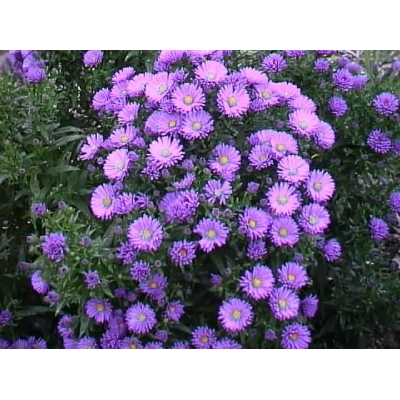 Aster