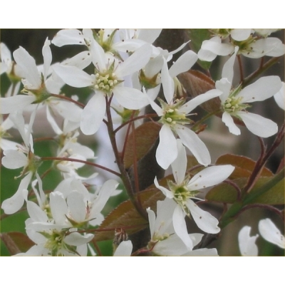 Amelanchier(Krentenboom)