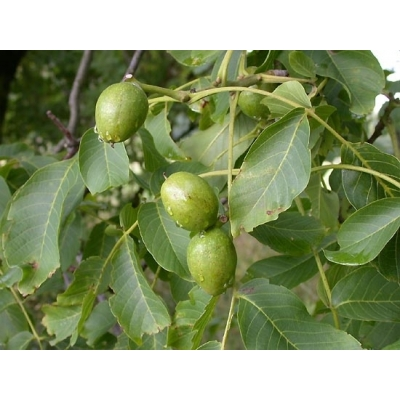 Juglans(Walnoot)