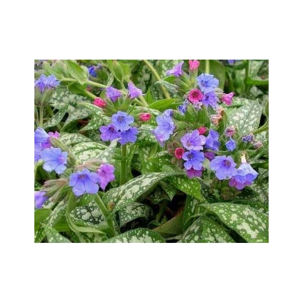 Pulmonaria (Longkruid)