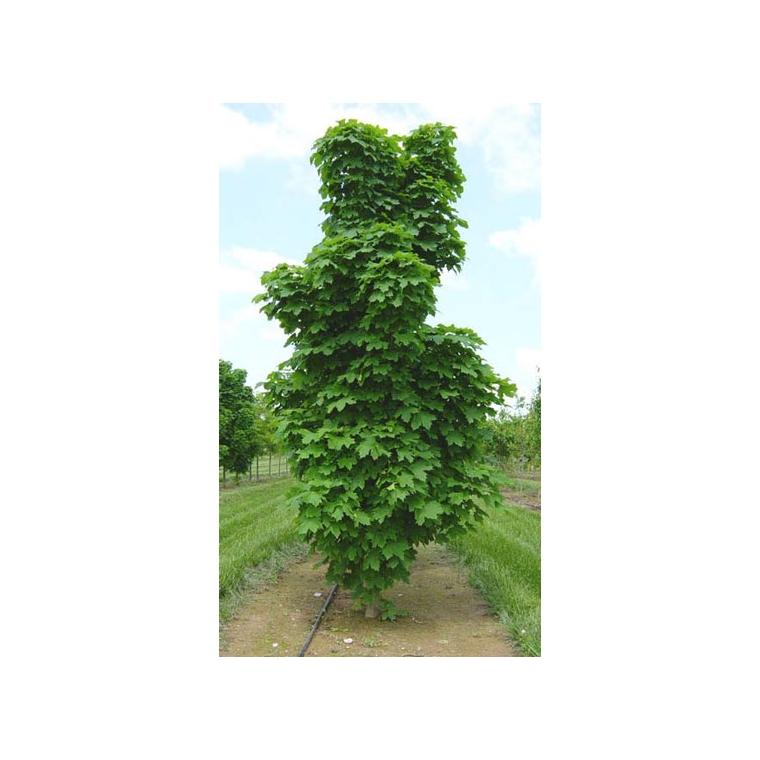 Acer Platanoidescolumnare
