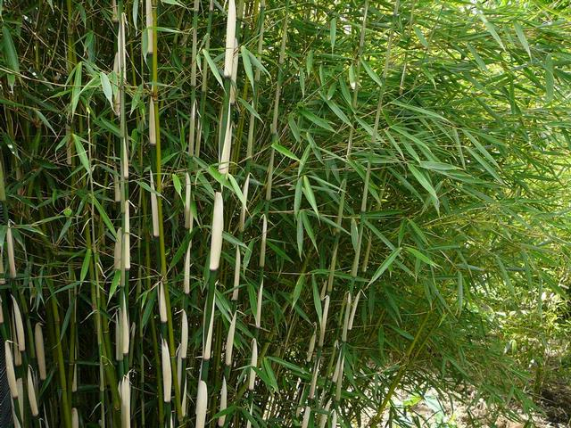 Bamboe's worden vaak gebruikt als rustpunt in de tuin.ook kunnen ze ...: www.bomenenplantenonline.nl/bamboe-op-container_14
