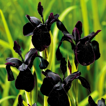 Iris chrysographes'Black Form'
