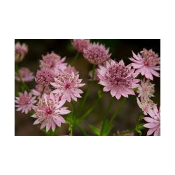 Astrantia major'Star of Love'