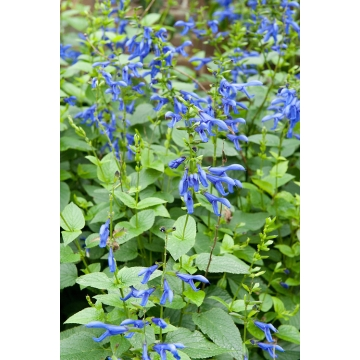 Salvia guarannitica'Blue Enigma'