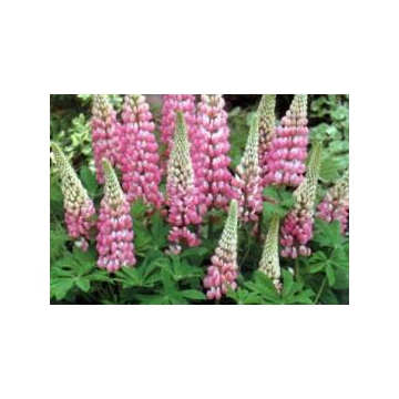 Lupinus'The Chatelaine'