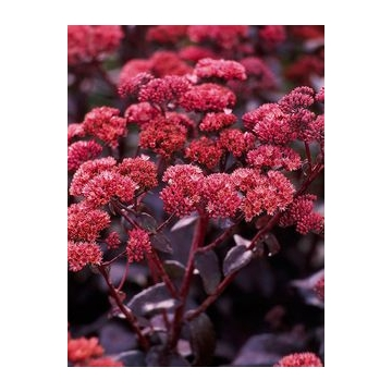 Sedum'Oriental Dancer'