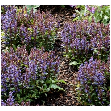 Ajuga reptans'Blueberry Muffin'