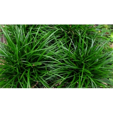 Carex foliosissima'Irish Green