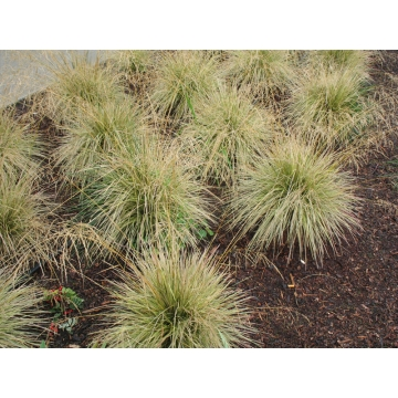 Deschampsia cespitosa'Northern Lights