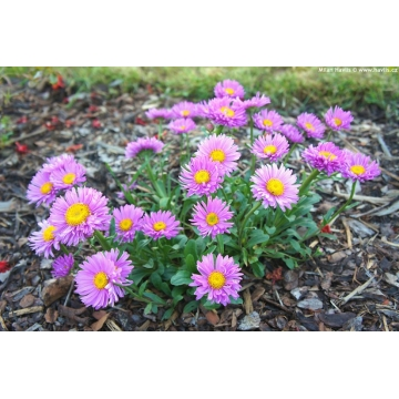 Aster alpinus'Happy End'
