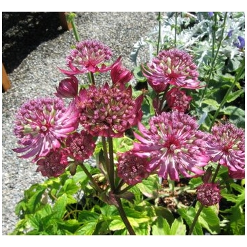Astrantia major'Lars'