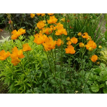Trollius chinensis'Golden Queen'