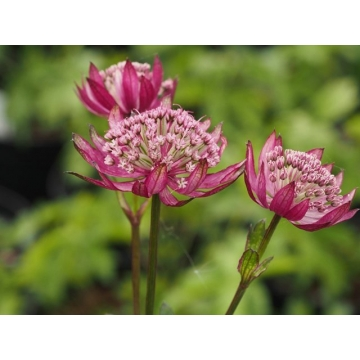 Astrantia major'Ruby Giant'