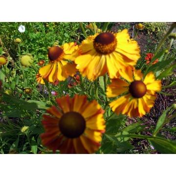 Helenium'Can Can'
