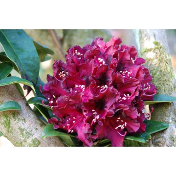 Rhododendron'Moser's Maroon'