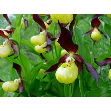 Cypripedium calceolus