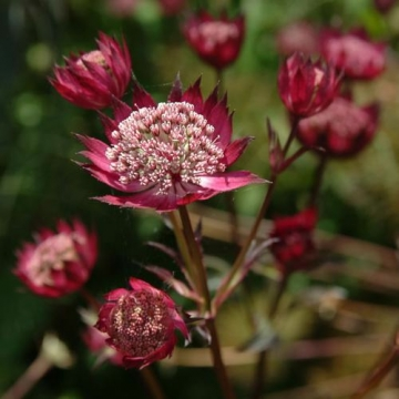 Astrantia major'Hadspen Blood'